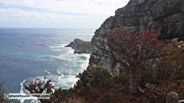 Cape Point - Flora