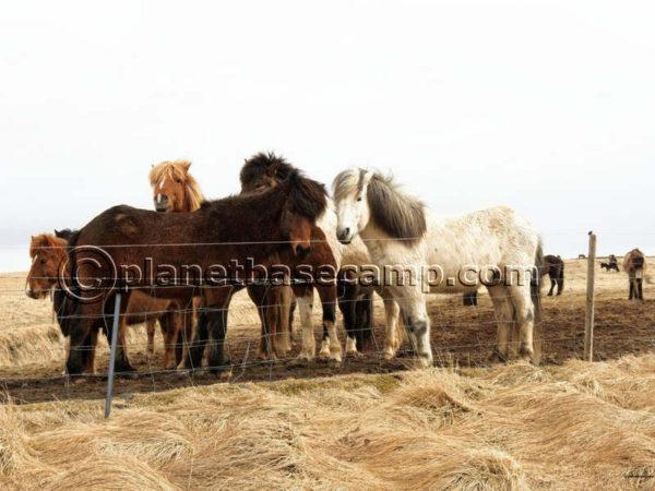 Iceland - Golden Circle Horses