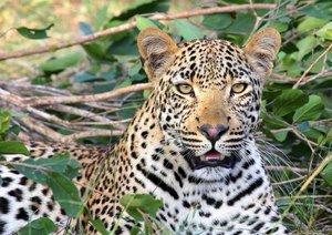 Cape Leopard Sitting On Green Grass